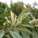 Folhas novas na ameixeira