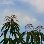 Brotos da mangueira.